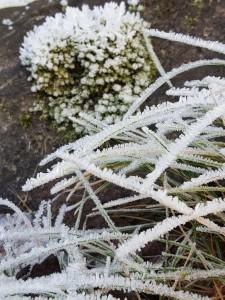 Frostiga grässtrån